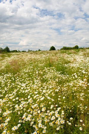 field of wild chamomiles Stock Photo - 8216913