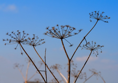dry angelica plant on blue sky Stock Photo - 8364523