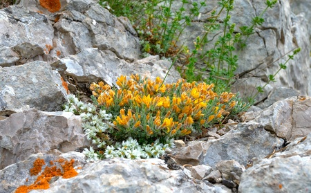 yellow flowers growing in stones Stock Photo - 8364580