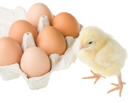 chick standing near container with eggs, isolated on white photo