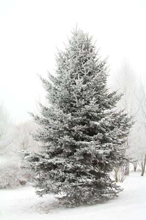 spar: fir tree winter bedekt met rijm