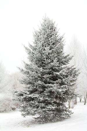 winter fir tree covered with hoarfrost Stock Photo