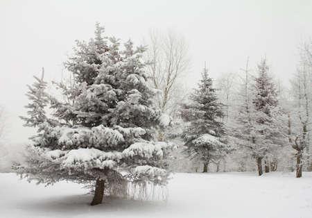 blizzard: Winter Fir Trees mit Schnee bedeckt Lizenzfreie Bilder
