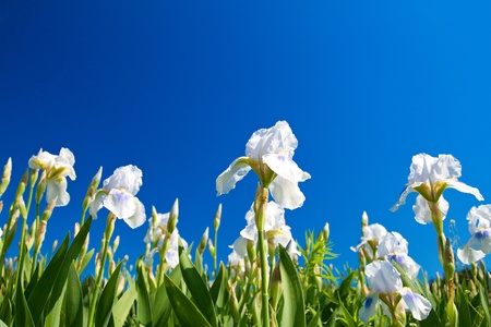 irises: white irises against blue sky Stock Photo