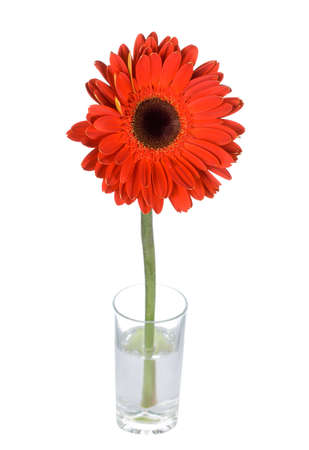 close-up red gerbera in glass, isolated on white photo