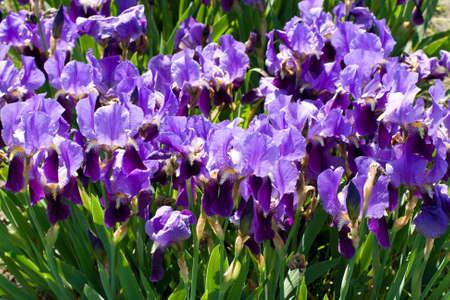 field with purple irises Фото со стока
