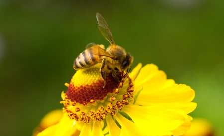 close-up a small bee collect nectar on the yellow flower photo