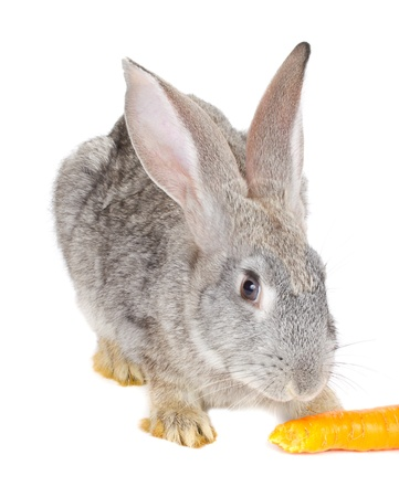 close-up gray rabbit eating carrot, isolated on white photo