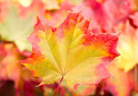 autumn maple leaf on many-coloured background  Standard-Bild