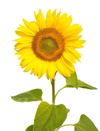 close-up sunflower, isolated on white