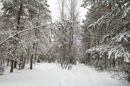 winter coniferous forest, covered with snow photo