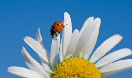 close-up red ladybird on chamomile petal Stock Photo - 8895890
