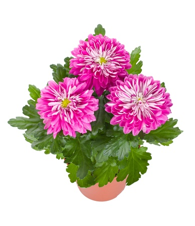 big flower: close-up pink chrysanthemum flowers in pot, isolated on white