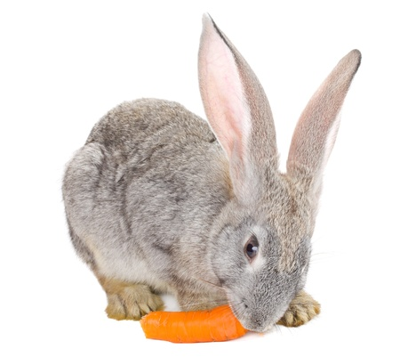 close-up gray rabbit eating carrot, isolated on white Stock Photo