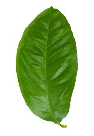 leaf of lemon tree, isolated on white photo