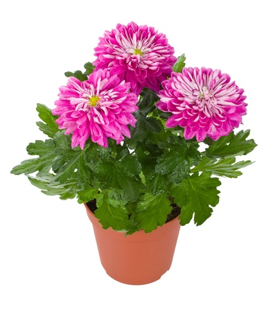plant pot: close-up wet pink chrysanthemum flowers in pot, isolated on white Stock Photo