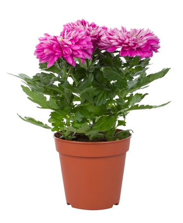 flower pot: close-up pink chrysanthemum flowers in pot, isolated on white