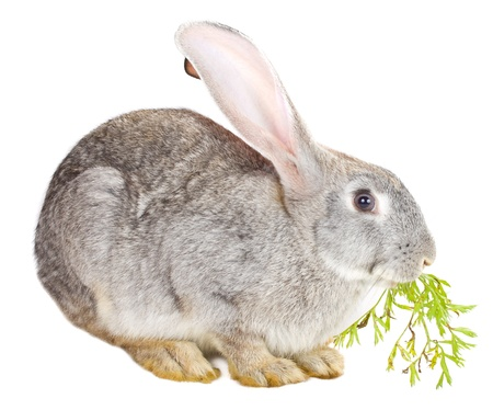 close-up gray rabbit eating carrot leaf, isolated on white photo