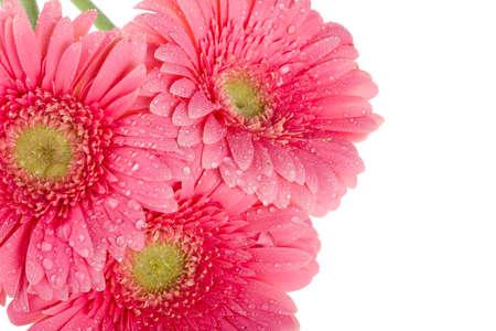 close-up wet pink gerbera flowers, macro shot, isolated on white photo
