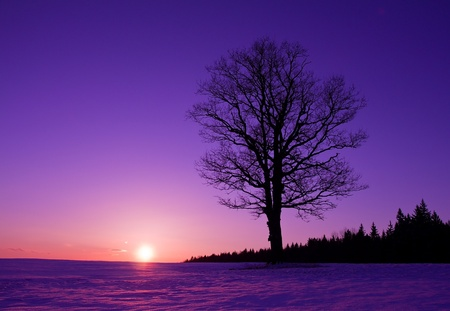 frozen trees: lonely oak tree at sunset