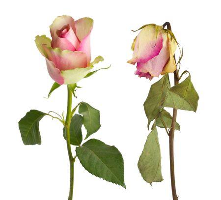 flores secas: primer plano rosas frescas y secas, aislados en blanco
