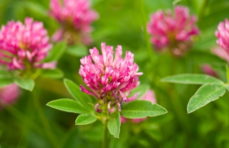 close-up pink clover in field Stock Photo - 9169948