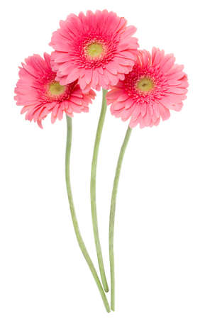 close-up pink gerbera flowers, isolated on white photo