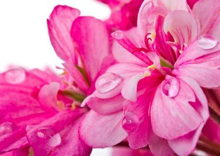geranium color: close-up pink geranium with water drops