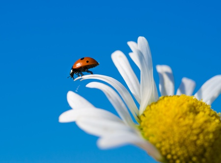 red ladybird on chamomile petal before fly, selective focus photo