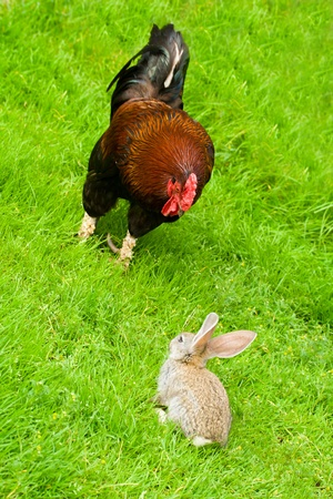 rooster and bunny on green grass Stock Photo - 9406792