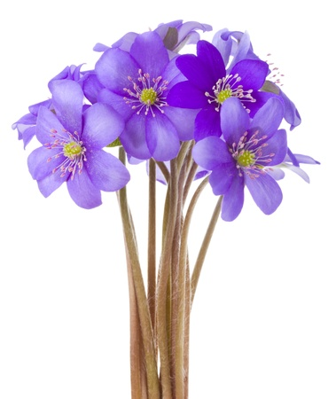 anemone flower: fiori hepatica Close-up, isolate on white Archivio Fotografico