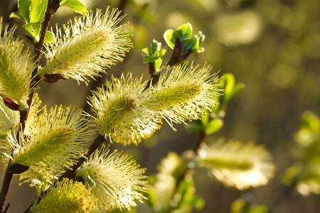 close-up yellow pussy-willow branch Фото со стока - 9504930