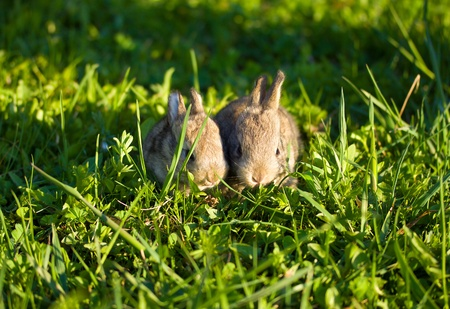 two gray bunnies on green grass background Stock Photo - 9504943