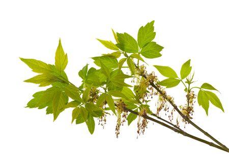開花の灰-の葉メープル、白で隔離されるのクローズ アップ支店 写真素材
