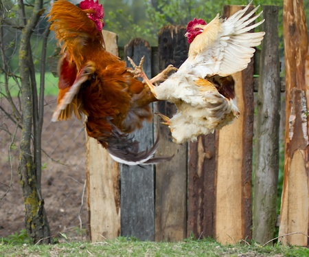 two cocks fighting  in fly photo