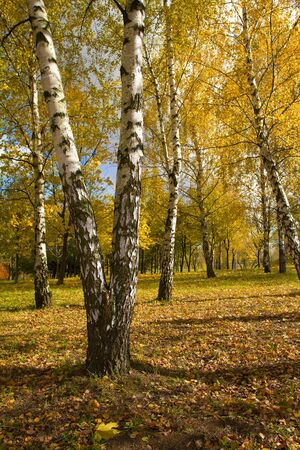 beautiful birch grove in autumn photo