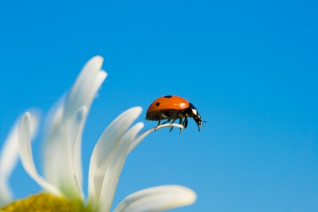 ladybird on chamomile petal, selective focus photo