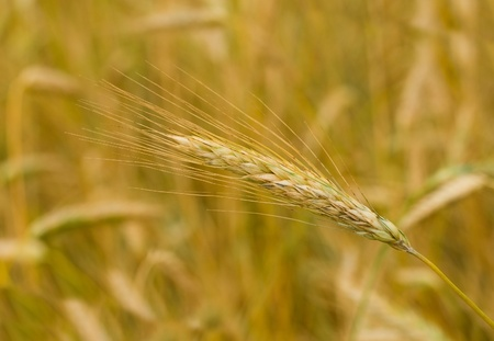 close-up ear of rye in field, selective focus Stock Photo - 9592513