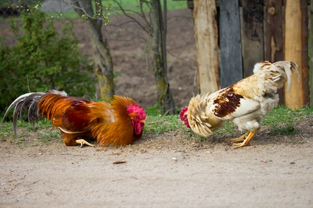 fighting cock: two cocks look at each other, ready for fight