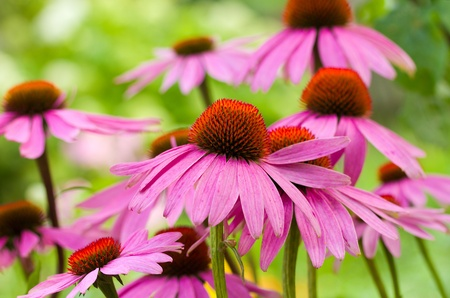 echinacea: echinacea flowers against green background