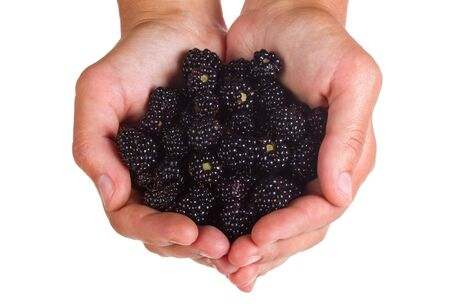 close-up blackberries in hands, isolated on white photo