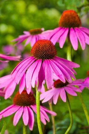 echinacea flowers on green background photo