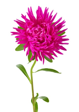 aster: close-up pink aster flower, isolated on white
