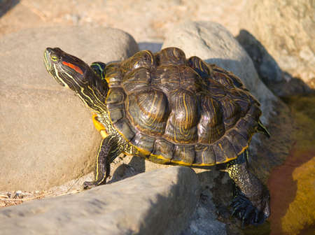 close-up tortoise sitting on stones Stock Photo - 10864519