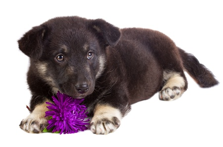 close-up puppy with flower, isolated on white photo