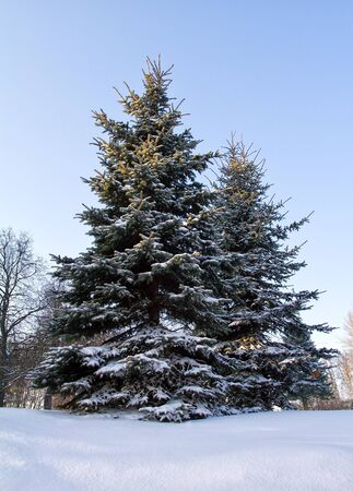 fir tree covered with snow photo