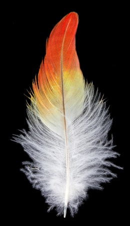 close-up feather, isolated on black photo