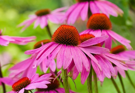 echinacea flowers against green background photo