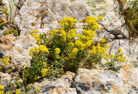 yellow flowers growing in stones Stock Photo - 12407588