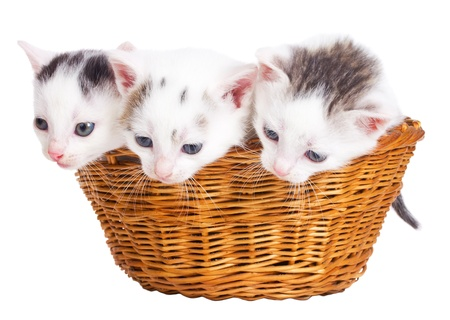 close-up three kittens sitting in basket, isolated on white photo